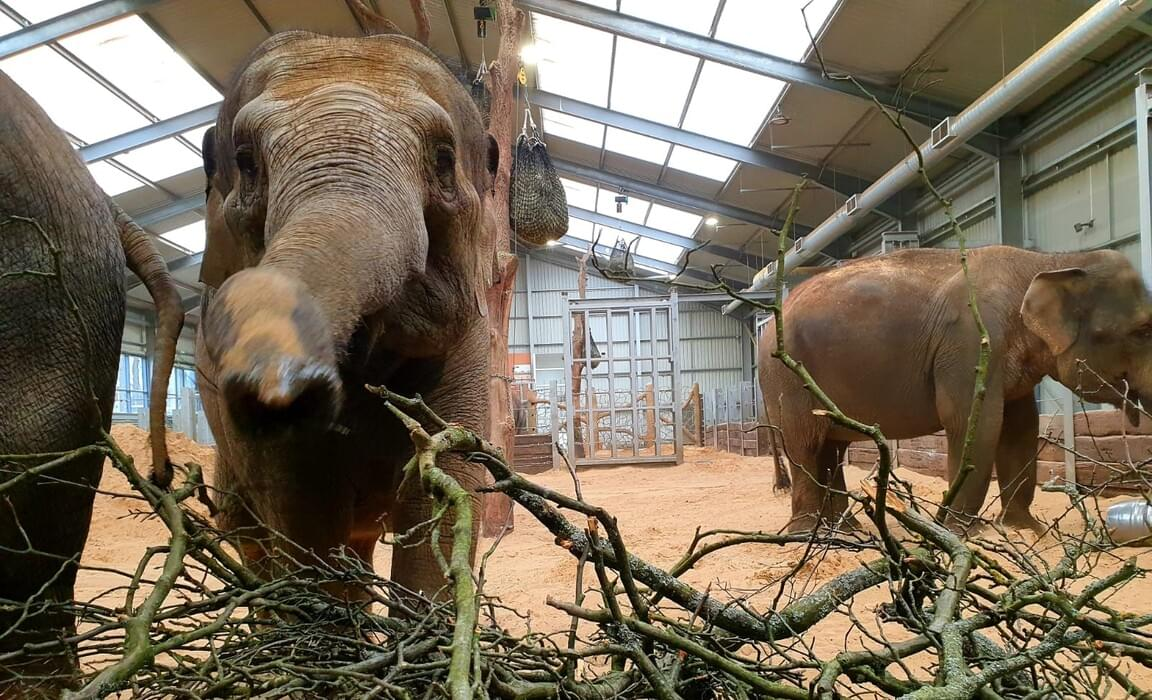 The Asian elephants at Whipsnade Zoo enjoying branches from Beechwood Park School