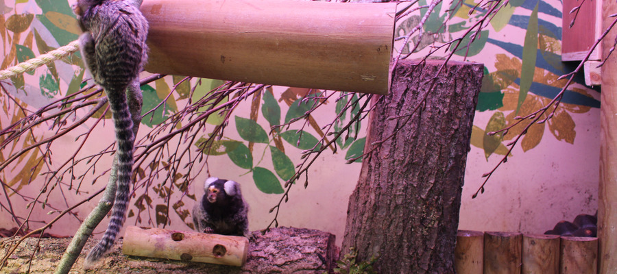 The rescued Marmosets at Bede's School Zoo